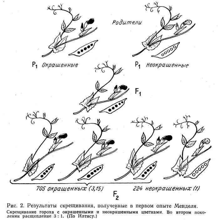 Результаты скрещивания, полученные в первом опыте Менделя
