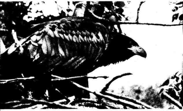 До середины августа молодые орланы-белохвосты не решаются покидать гнёзда
