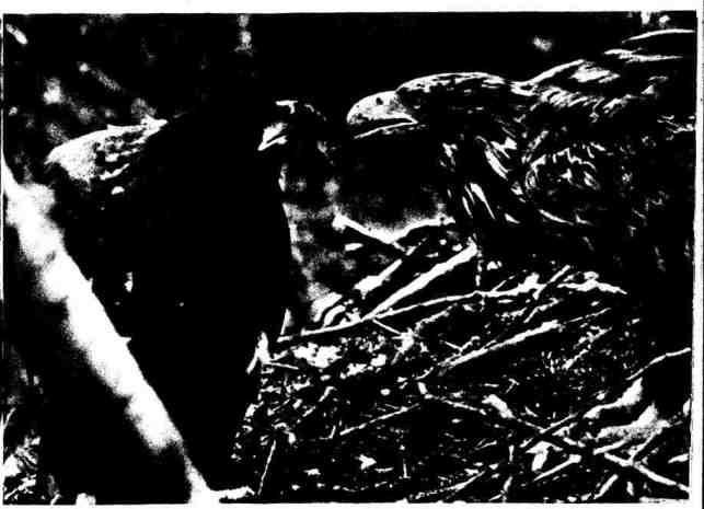 Самка орлана-белохвоста - заботливая мать