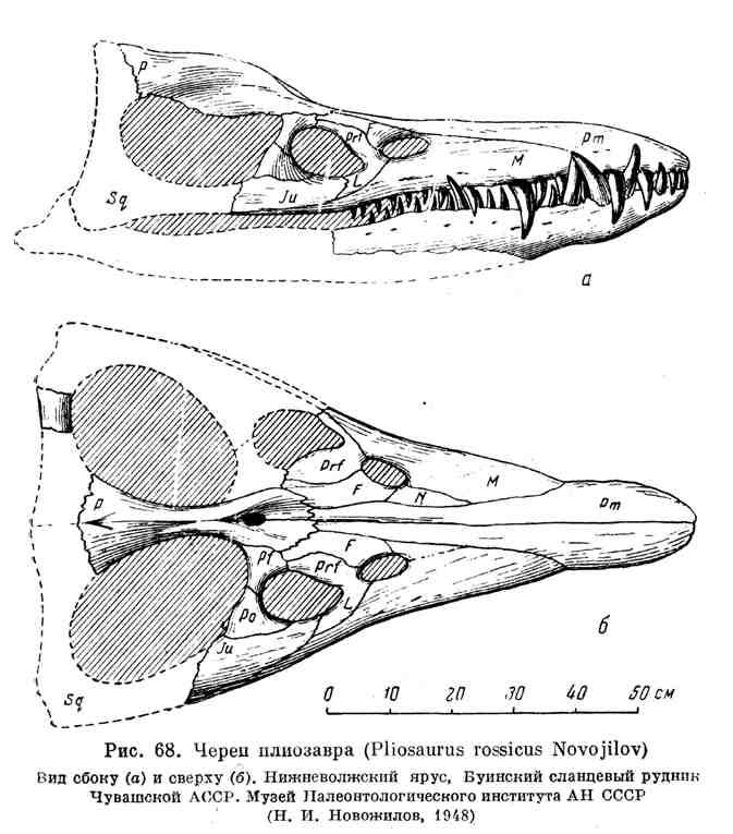 Череп плиозавра