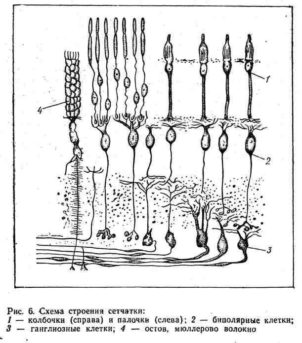 Схема строения сетчатки