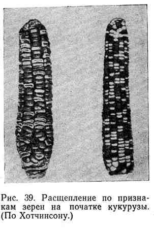 Расщепление по признакам зерен на початке кукурузы