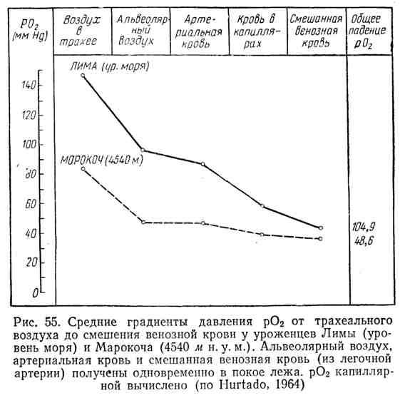 Средние градиенты давления pO2 от трахеального воздуха до смешения венозной крови у уроженцев Лимы (уровень моря) и Марокоча (4540 м над уровнем моря)