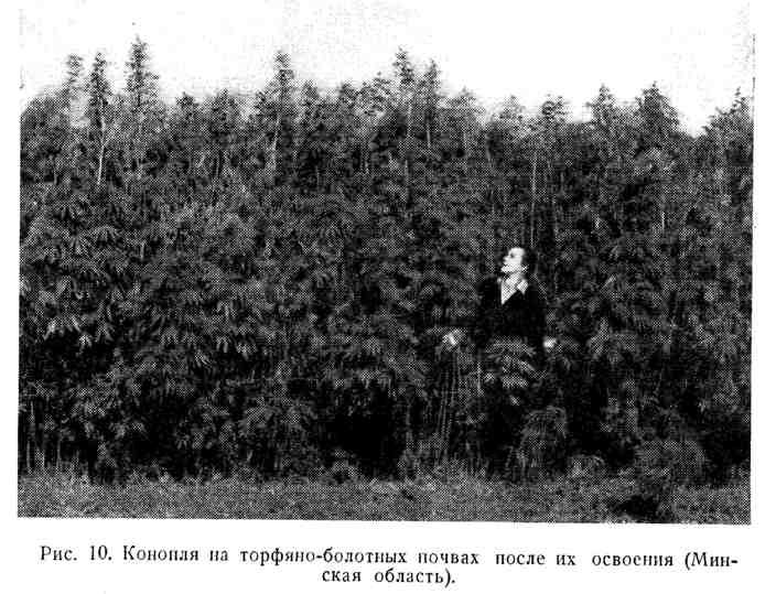 Конопля на торфяно-болотных почвах после их освоения