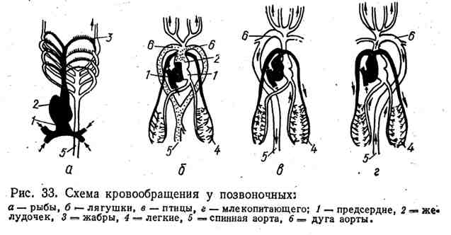 Система кровообращения у позвоночных