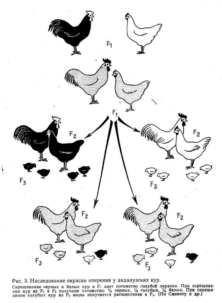 Наследование окраски оперения у андалузских кур