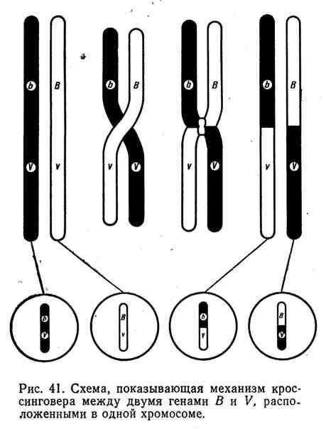Схема, показывающая механизм кроссинговера между двумя генами B и V, расположенными в одной хромосоме