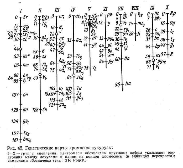 Генетические карты хромосом кукурузы