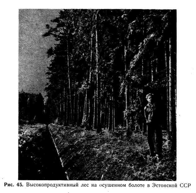 Высокопродуктивный лес на осушенном болоте в Эстонской ССР