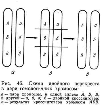 Схема двойного перекрёста в паре гомологичных хромосом