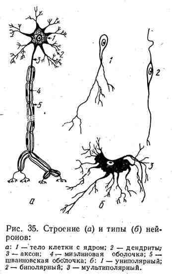 Строение и типы нейронов