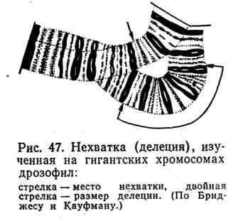 Нехватка (делеция), изученная на гигантских хромосомах дрозофил