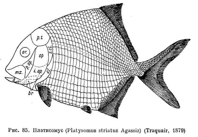 Платисомус