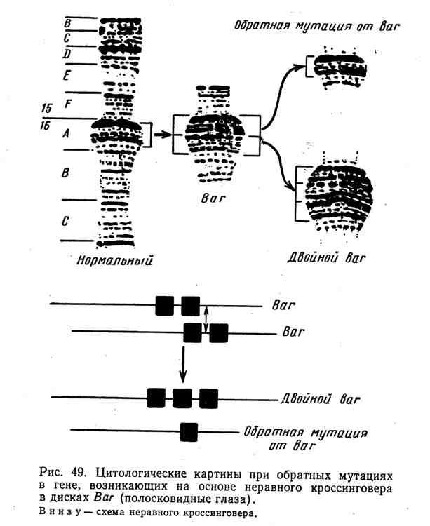 Цитологические картины при обратных мутациях в гене, возникающих на основе неравного кроссинговера в дисках Bar (плосковидные глаза)