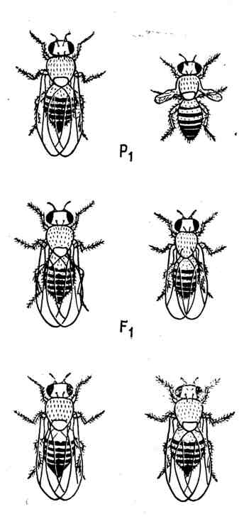 Скрещивание дрозофилы с нормальными крыльями (дикая форма) с дрозофилой с короткими крыльями даёт в F1 всех мух с нормальными крыльями