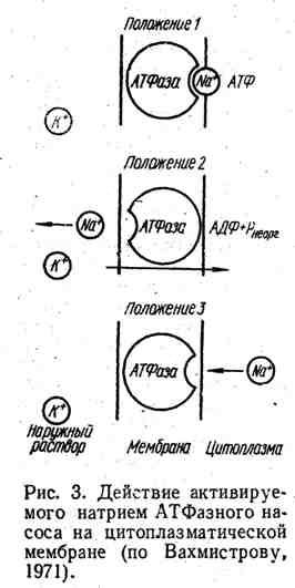 Действие активируемого натрием АТФазного насоса на цитоплазматической мембране