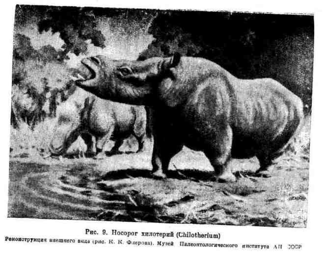 Носорог хилотерий