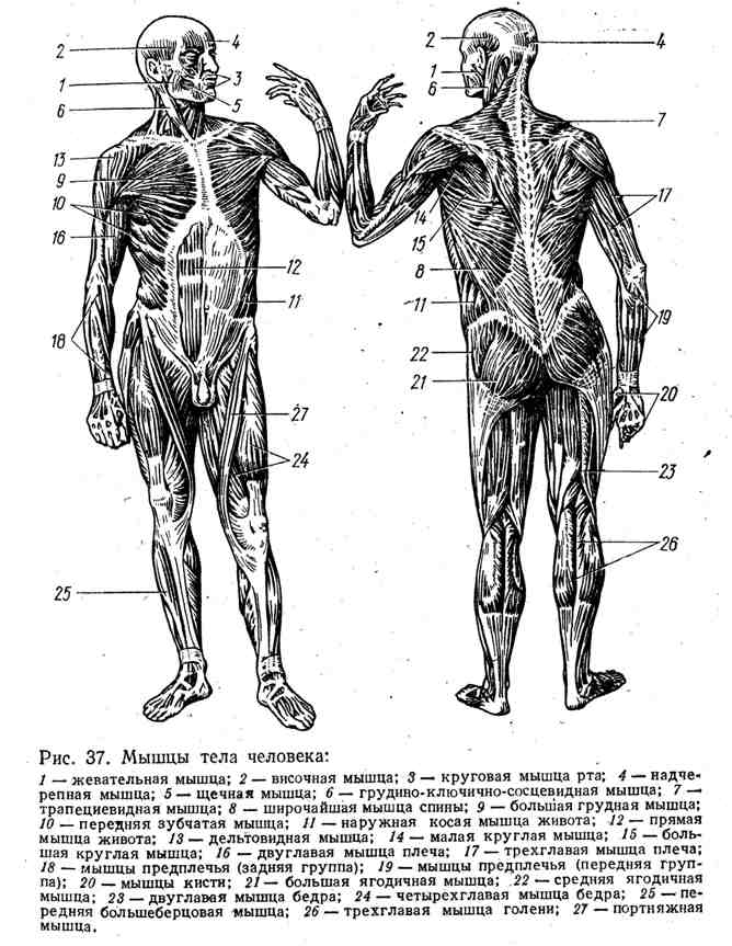 Мышцы тела человека