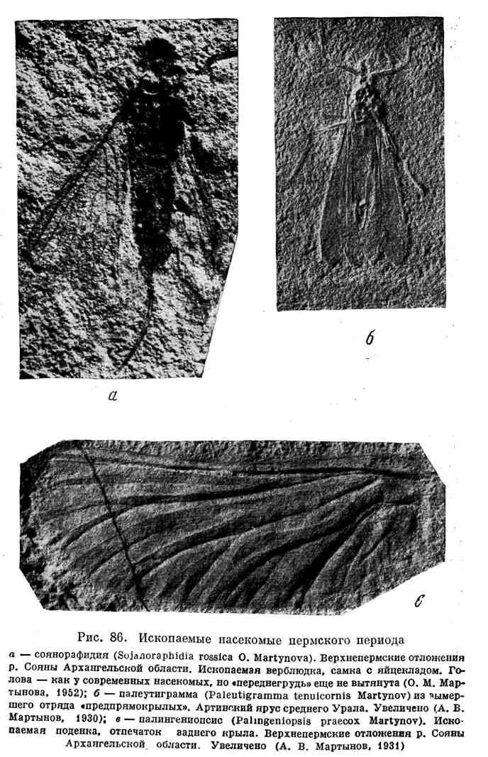 Ископаемые насекомые пермского периода
