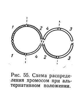 Схема распределения хромосом при альтернативном положении