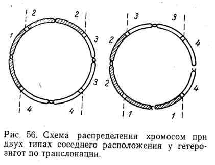 Схема распределения хромосом при двух типах соседнего расположения у гетерозигот при транслокации