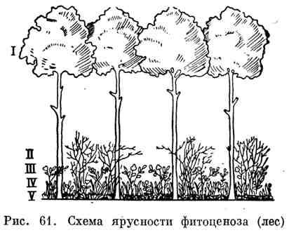 Схема ярусности фитоценоза (лес)