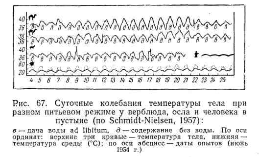 Суточные колебания температуры тела при разном питьевом режиме у верблюда, осла и человека в пустыне