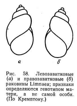 Левозавитковые и правозавитковые раковины Limnea